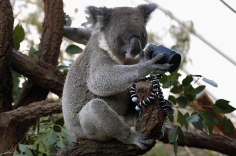 Este curioso koala está descubriendo las maravillosas lentes modernas.