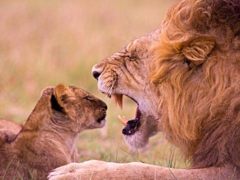 ¿Alguien ha odio hablar de las broncas de los padres a los hijos? Este furioso león está dándole una lección a su pequeño.