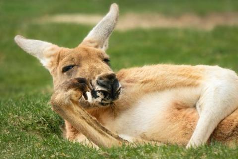 Este canguro tiene claro como relajarse...