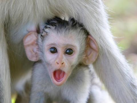 Este pequeño mono no puede creerse el gran tamaño de sus orejas.