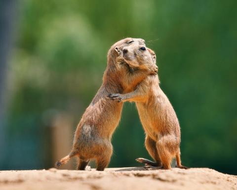 Otros animales no tiene problemas en mostrar sus sentimientos, como hacemos los humanos. Estas ardillas amorsas se funden en un bonito abrazo.