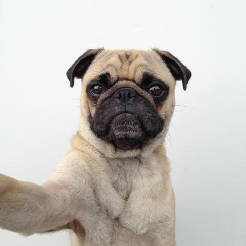 Is this pug taking a selfie, too?