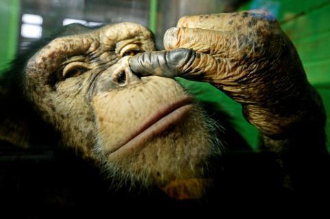 Este mono sinvergüenza no tiene problemas en buscar petróleo.
