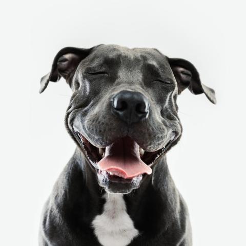 ... como lo demuestra la sonrisa de este pit bull...