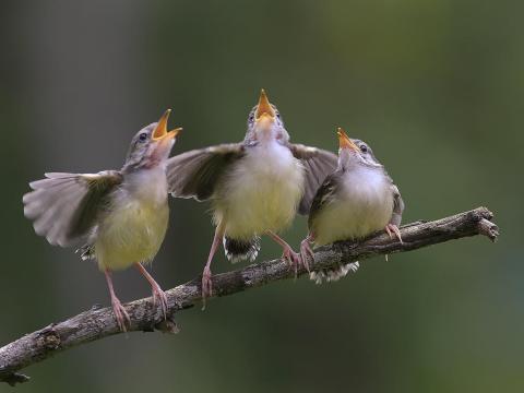 Algunos animales también han sido capturados mientras cantan, o al menos eso parece.