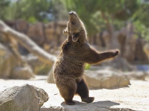 Algunas fotos muestran a los animales haciendo cosas humanas como bailar. Este oso está en plena danza..