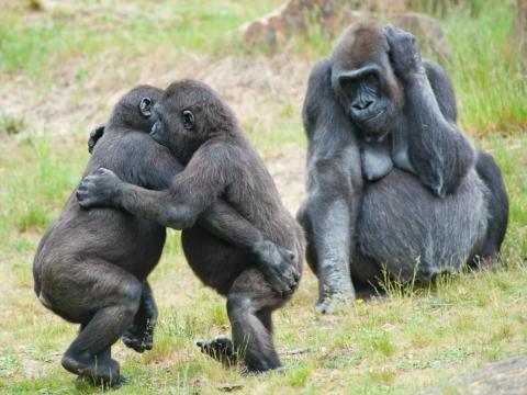Estos bebés gorilas están bailando salsa bajo la atenta mirada de su madre.