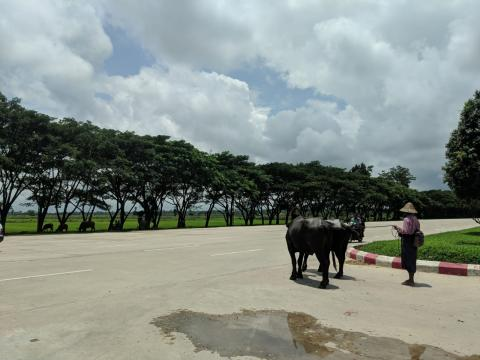 Una mujer cruza la autopista con sus búfalos.