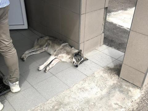 Un perro dentro de la zona de exclusión.