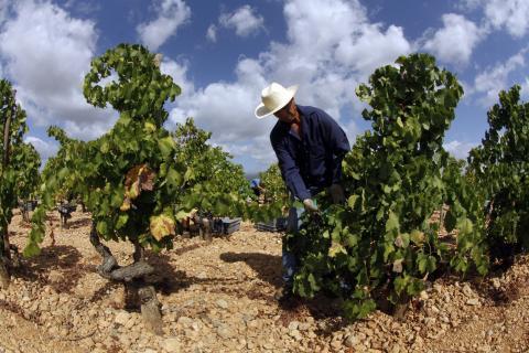 Un agricultor hace la vendimia en Mallorca