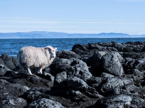 Hay una gran población de ovejas en Flatey.