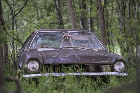 Un mapache asoma su cara por el parabrisas de un coche en una granja abandonada en Saskatchewan, Canadá.