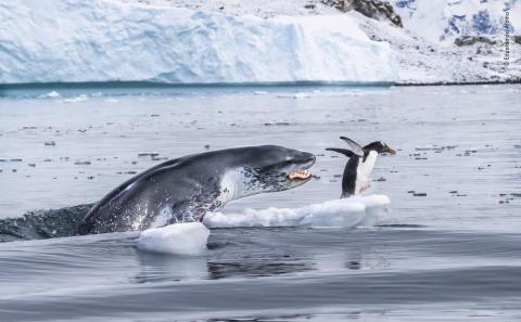 Un pingüino papúa huye para salvar su vida cuando una foca leopardo sale del agua en la isla de Cuverville, en la Antártida.