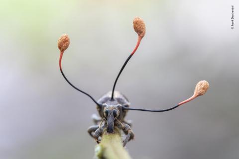 Un insecto muerto del que salen tres hongos salvajes en la amazonia peruana.