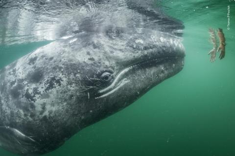 Una ballena gris se acerca a un par de manos que bajan desde un barco turístico en la Laguna de San Ignacio, en la costa de Baja California, México.