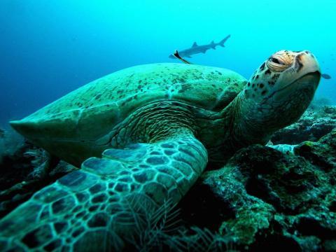 Una tortuga verde gigante en un arrecife de coral.