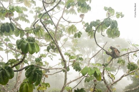 Un perezoso en el Parque Nacional de Soberanía de Panamá.