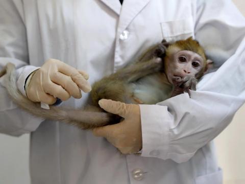 Los científicos ya son capaces de convertir los pensamientos de los monos en comandos de ordenador.