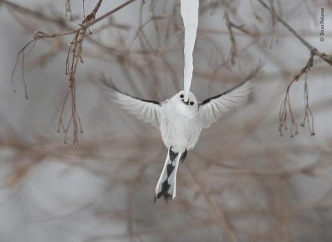 "Un ""long-tailed"" en la isla japonesa de Hokkaido."