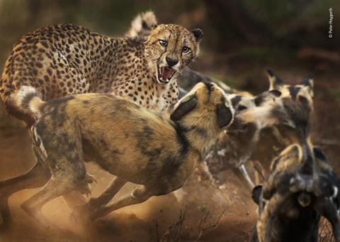 Un guepardo macho es atacado por perros salvajes africanos en la Reserva Privada de Caza de Zimanga, KwaZulu-Natal, Sudáfrica.