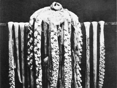 Calamar gigante de Logy Bay, noviembre/diciembre de 1873