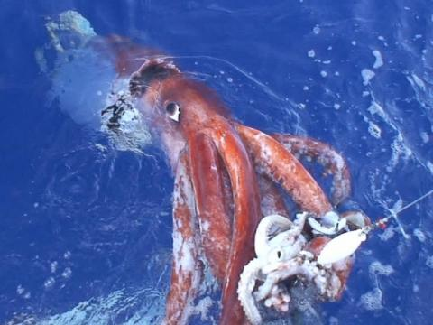One nearly long-lost species, however, emerged from the wilderness this year. In June, scientists spotted a giant squid in its deep-sea habitat in the Gulf of Mexico.