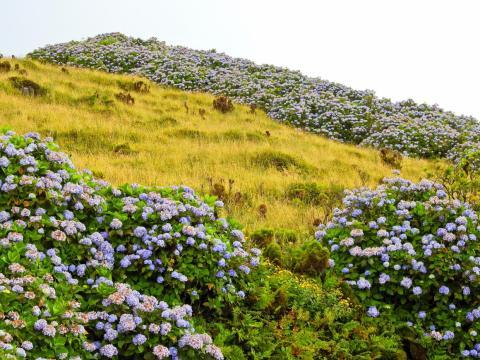 La isla Faial, Azores está cubierta de flores y plantas.