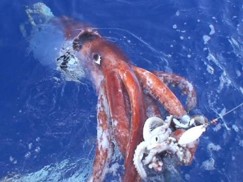 Un calamar gigante fue capturado por una cámara en el Golfo de México.