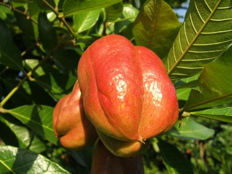 Ackee not only looks strange, but it's banned in America.