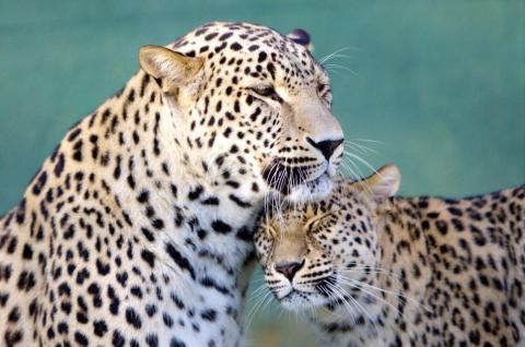 Leopardos mostrándose cariño.