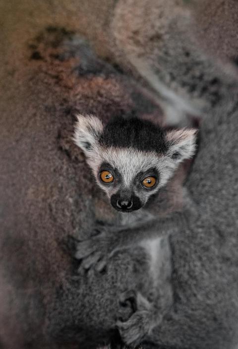 Un bebé lemur.