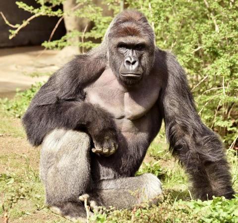 Harambe en el zoológico de Cincinnati.