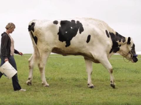 Blosom la vaca.