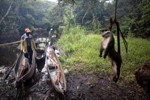 Un mono de cola roja muerto cuelga sobre su cola para mantenerlo alejado de las hormigas, en el bosque cerca de la ciudad de Mbandaka, República Democrática del Congo, el 5 de abril.