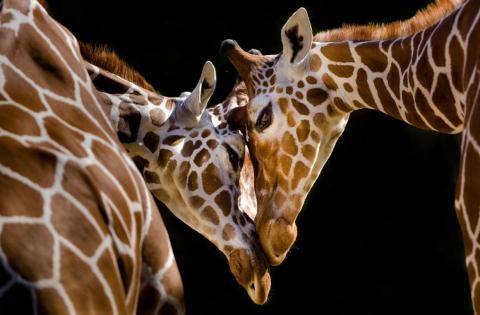 Amor entre jirafas.