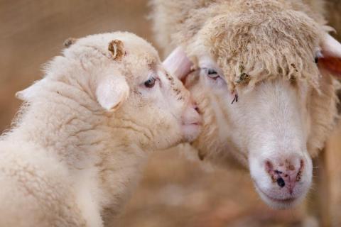 Un besito entre ovejas.