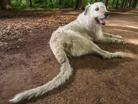Keon, el perro con la cola más larga del mundo.