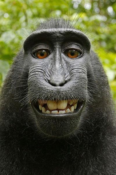 Una de las selfies de Naruto, el mono que cogió la cámara del fotógrafo David Slater.