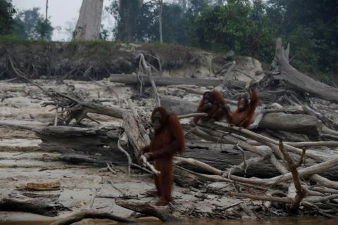 Orangutans gather as smoke covers Salat Island, near Palangka Raya, Indonesia — which is used by Borneo Orangutan Survival Foundation (BOSF) as a pre-release island for the animals — on September 15.