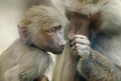 Los monos se acicalan entre ellos.