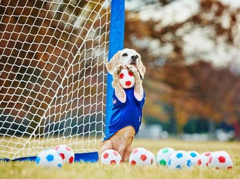 Purin, el beagle que posee el récord mundial.
