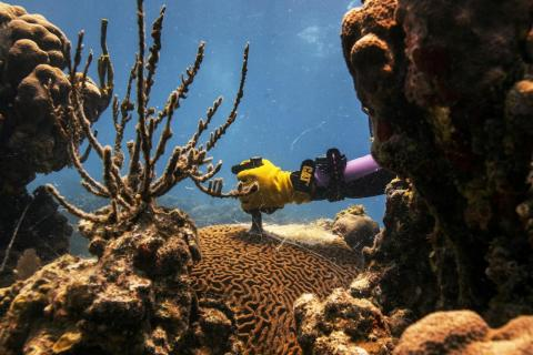 Research technician Danielle Lasseigne cuts a Pseudodiploria strigosa coral with a steel chisel to remove the portion of the animal being killed by Stony Coral Tissue Loss Disease (SCTLD) near the University of the Virgin Islands