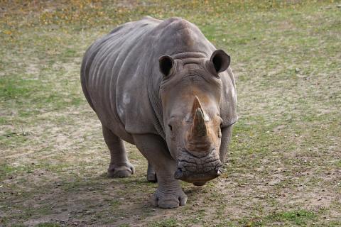 Un rinoceronte africano.
