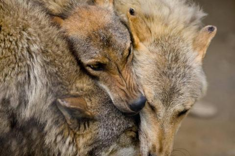 Una manada de lobos.