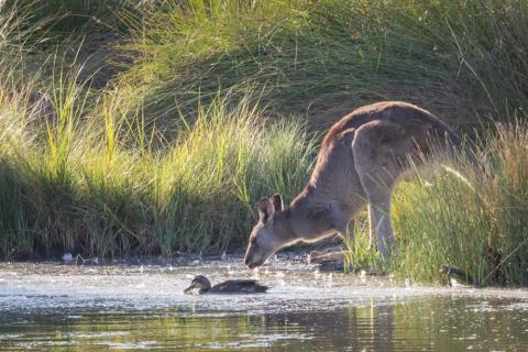 La vida silvestre en Sunbury, Victoria atrae a los que saben.