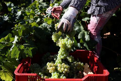 uvas, viñedos