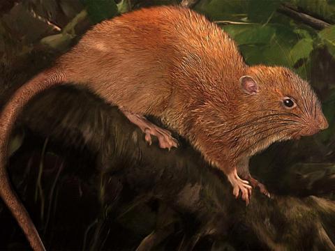 Una ilustración de la nueva especie, Uromys vika.
