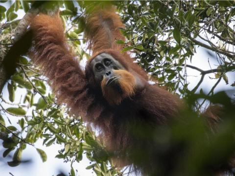 El orangután de Tapanuli.