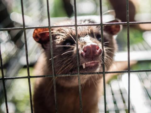 An Asian palm civet sits in a cage at the Kopi luwak farm and plantation in Ubud on the Indonesian island of Bali, November 20, 2018.
