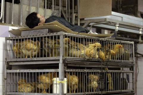 Un vendedor de gallinas duerme sobre las jaulas de  en el mercado húmedo de Hau Wong Road en la ciudad de Kowloon, China, el 31 de enero de 2004.
